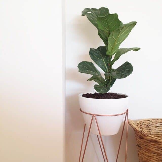 Bruiser Fiddle Leaf Fig