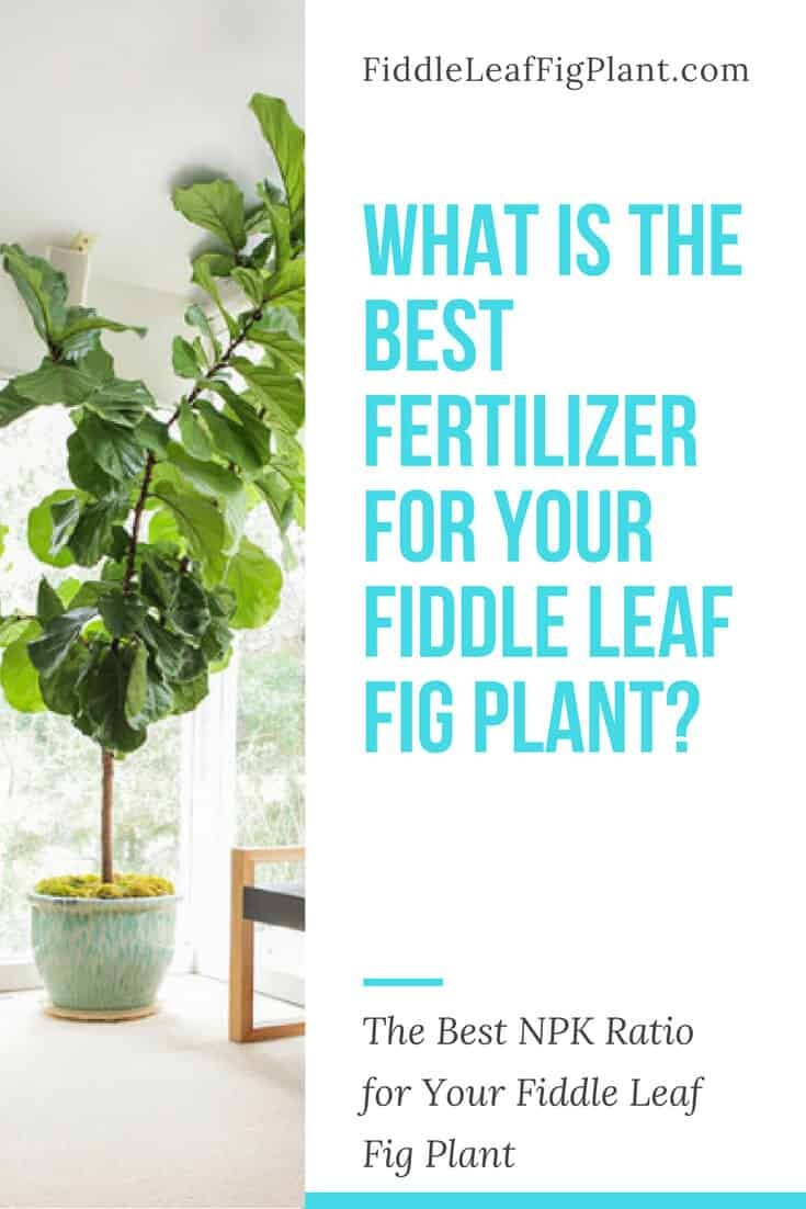 What is the Best Fertilizer for a Fiddle Leaf Fig Plant?