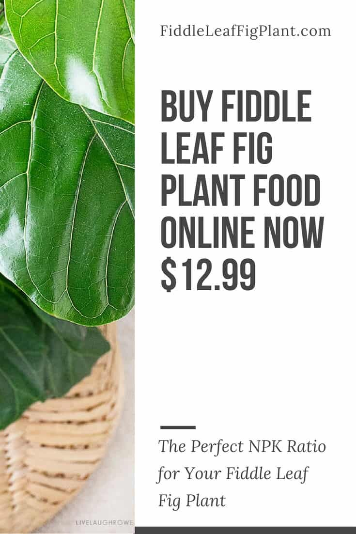Copy of WHAT IS THE BEST FERTILIZER FOR YOUR FIDDLE LEAF FIG PLANT copy