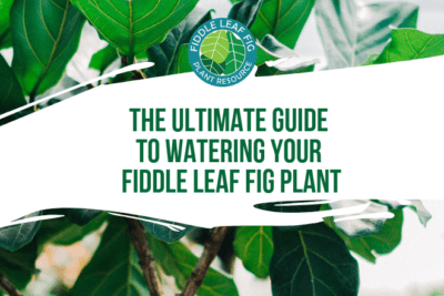 If you're confused about whether your fiddle leaf fig plant is getting enough water, there are some surefire ways to tell. Ask yourself these questions.