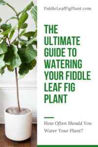 The Ultimate Guide to Watering Your Fiddle Leaf Fig Plant