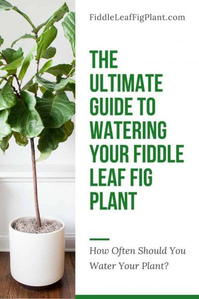 WHAT IS THE BEST FERTILIZER FOR YOUR FIDDLE LEAF FIG PLANT