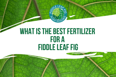 A healthy fiddle leaf fig needs the right amount of sunlight, just enough water, and the best fertilizer for a fiddle leaf fig plant.
