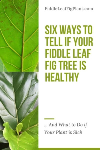 How Can You Tell if Your Fiddle Leaf Fig Tree is Healthy