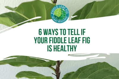 There are a few common ailments of fiddle leaf figs trees. Here are six ways to tell if your fiddle leaf fig tree is healthy and what to do if it's not.