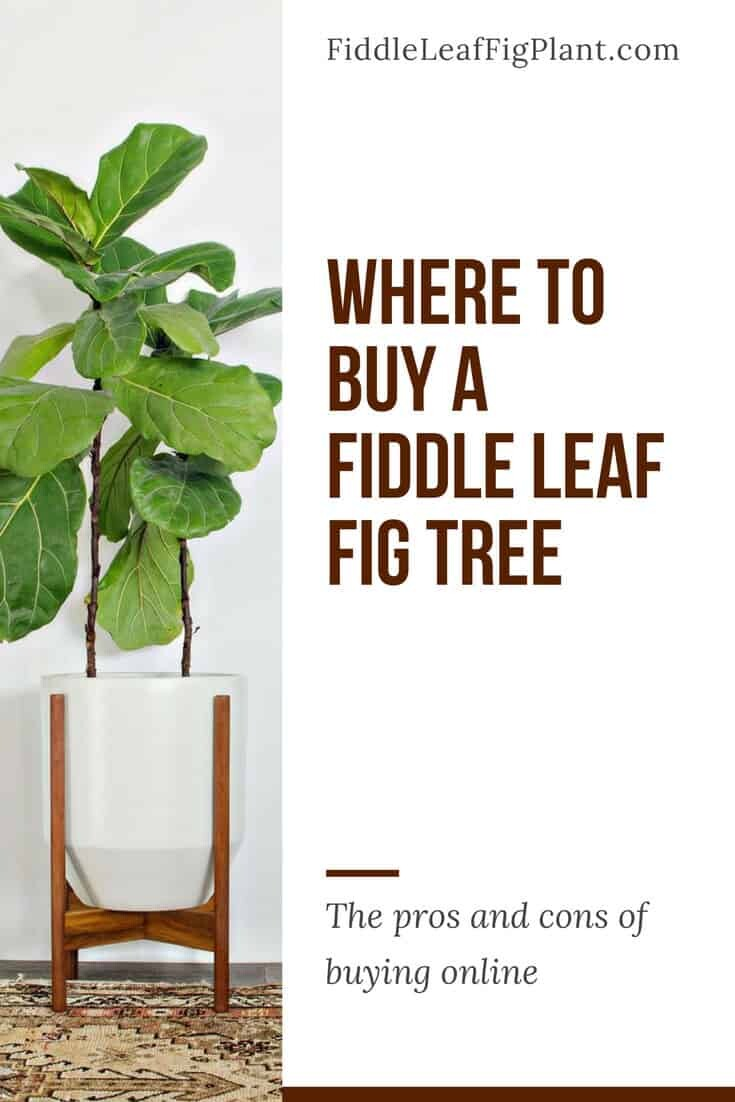Where to Buy a Fiddle Leaf Fig Tree