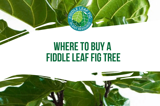Wondering where to buy a fiddle leaf fig tree? You'll want to spend some time researching your options. Here is what you need to consider.
