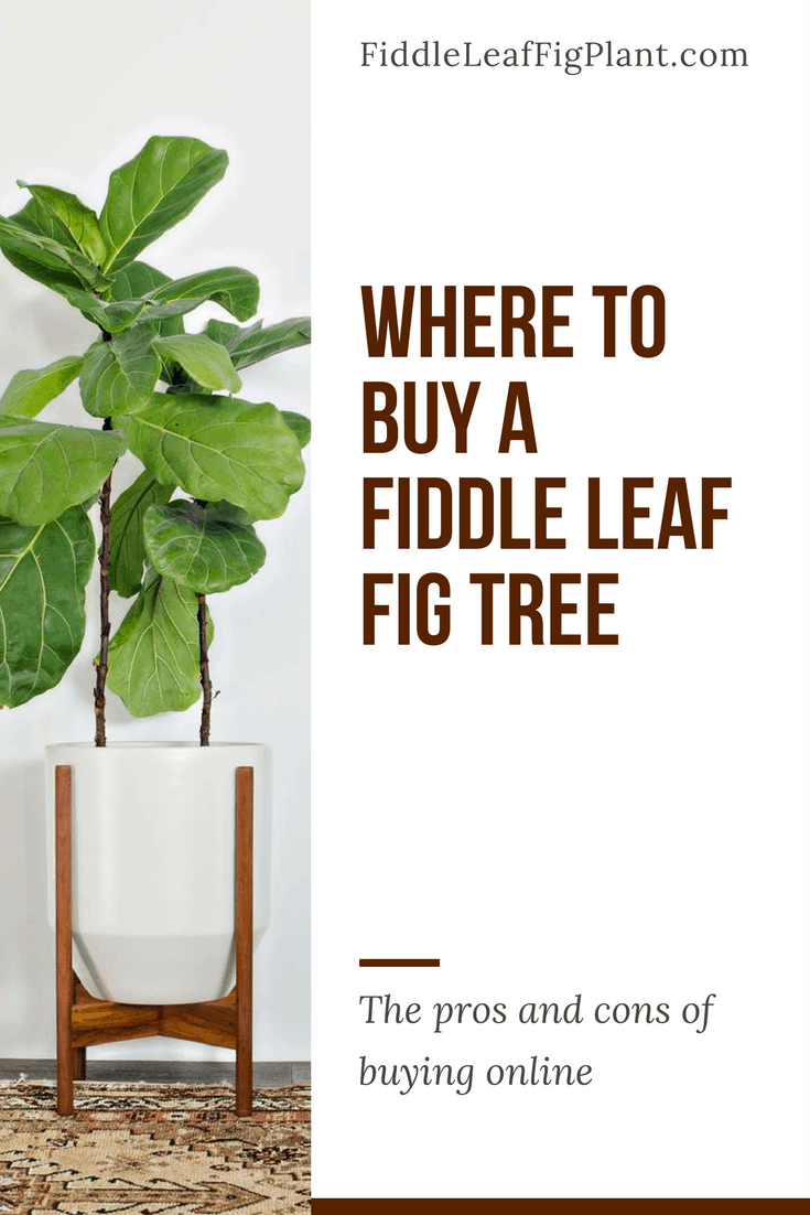 View Larger Image Where To A Fiddle Leaf Fig Tree