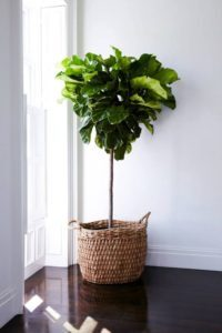 Here's the easiest way to repot a fiddle leaf fig tree and add a decorative container. Be sure to choose the best drainage and potting soil for your plant. Claire Akin