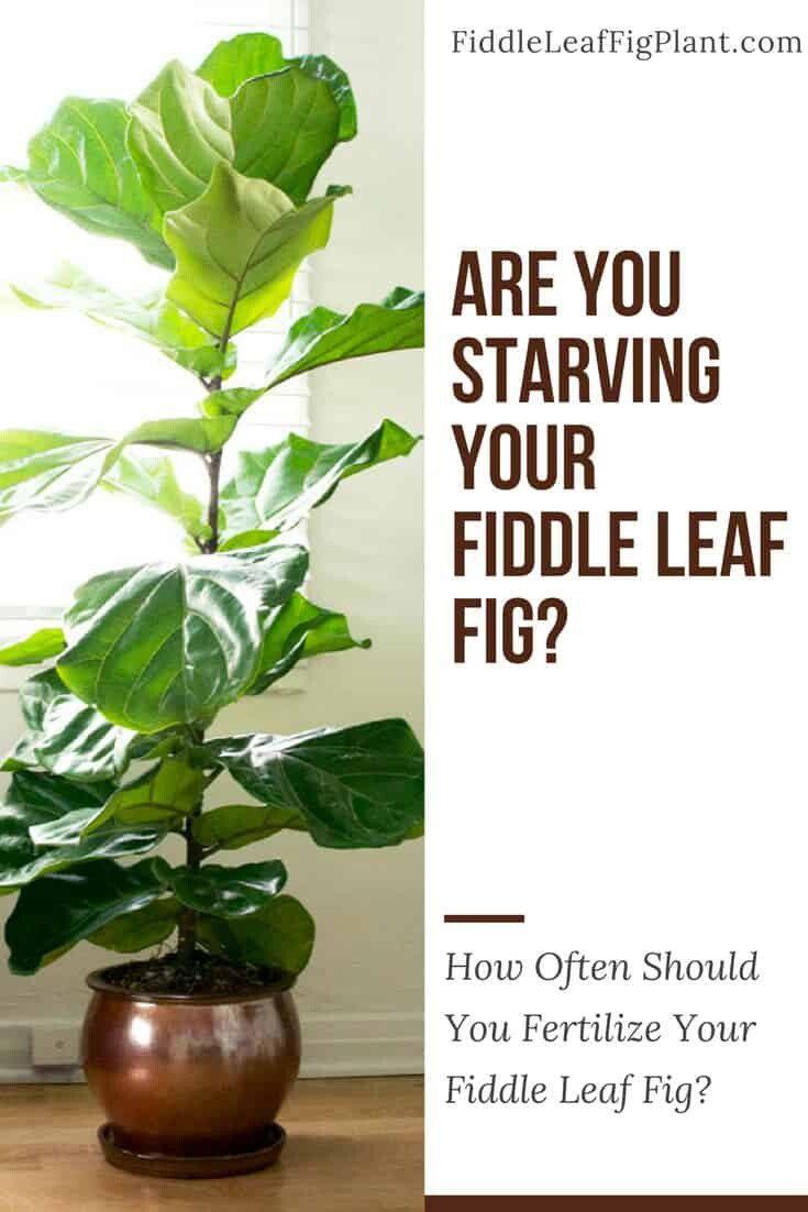 How Often Should You Fertilize a Fiddle Leaf Fig