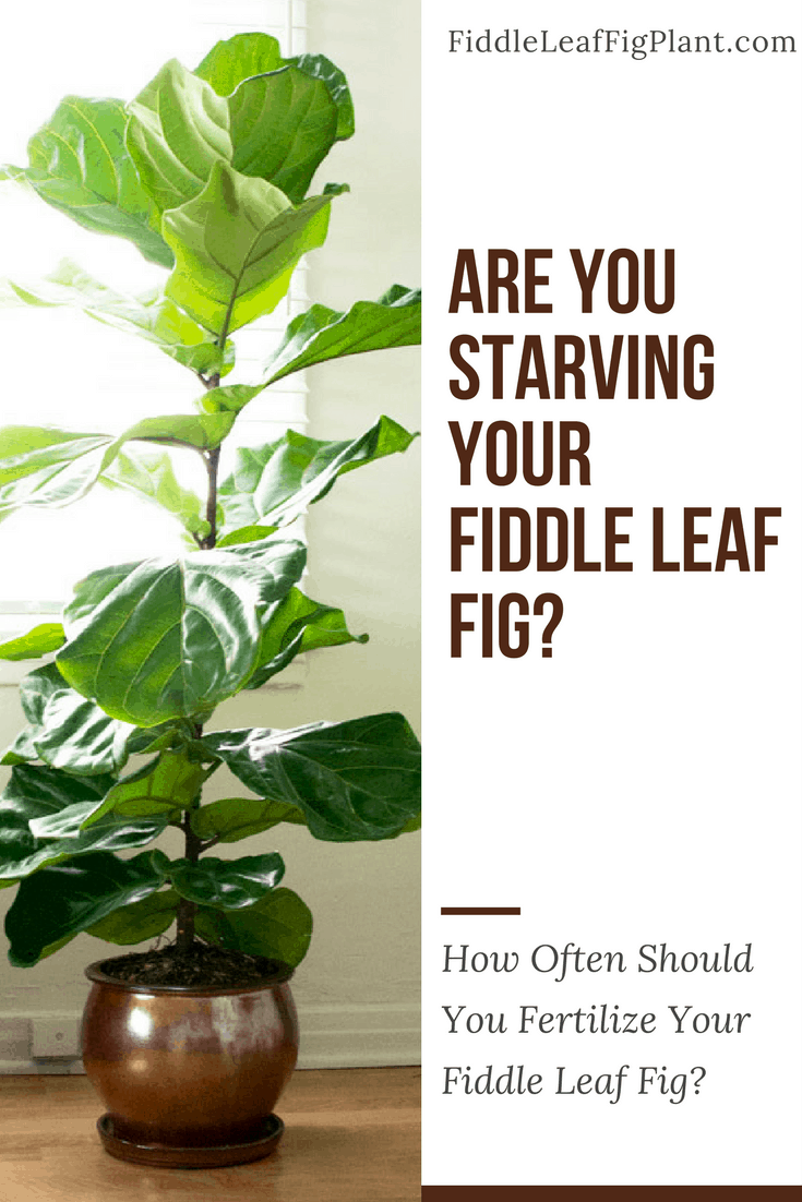 View Larger Image How Often Should You Fertilize A Fiddle Leaf Fig