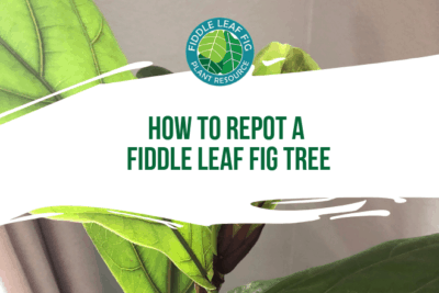 Here's the easiest way to repot a fiddle leaf fig tree and add a decorative container. Be sure to choose the best drainage and potting soil for your plant.