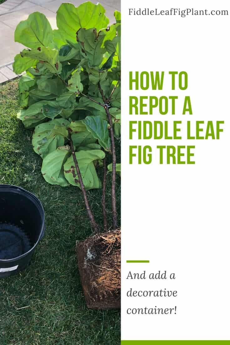 1a30239ccc9 How to Repot a Fiddle Leaf Fig Tree (And Add a Decorative Container!)