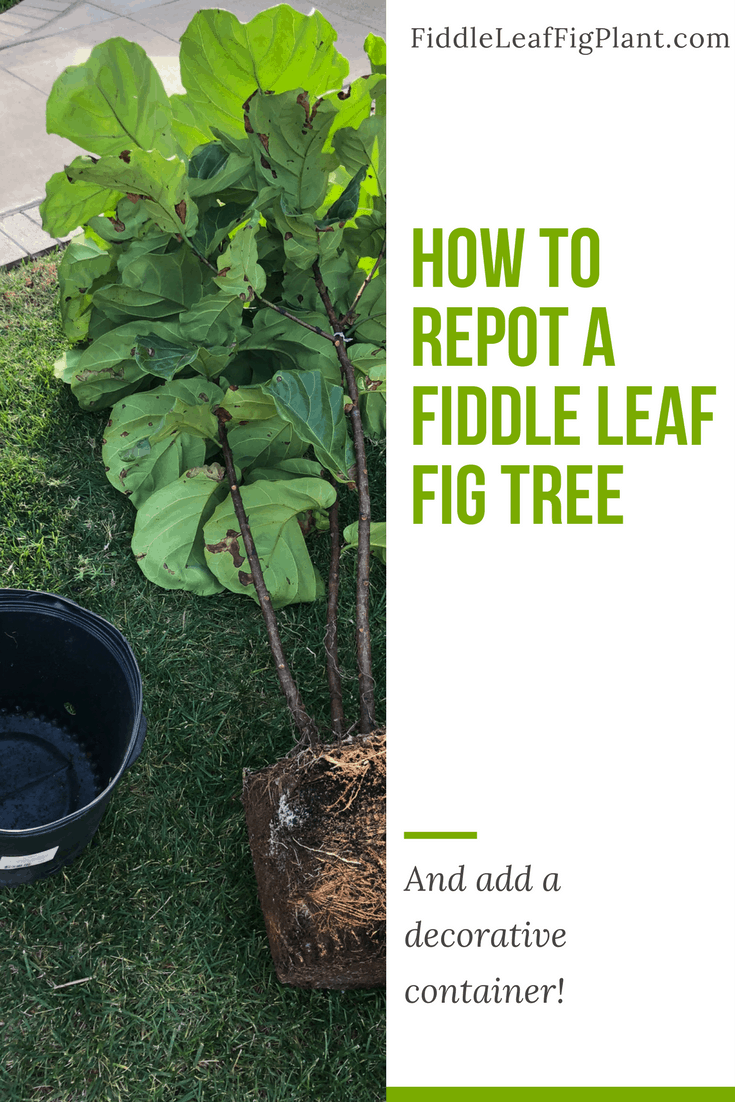 How to Repot a Fiddle Leaf Fig Tree