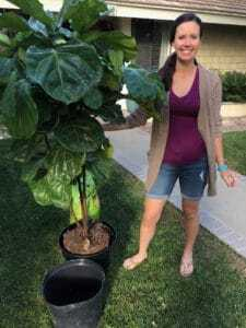 How to Repot a Fiddle Leaf Fig Tree (And Add a Decorative