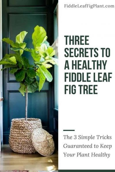 Three Secrets to a Healthy Fiddle Leaf Fig Tree