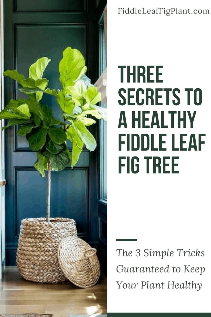 Three Secrets to a Healthy Fiddle Leaf Fig Tree