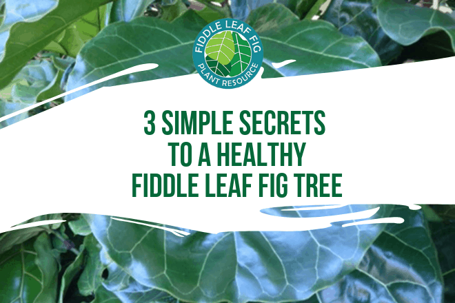 Over and under watering are the two most common killers of a fiddle leaf fig tree. Luckily, there's one simple secret to water your plant the right amount.