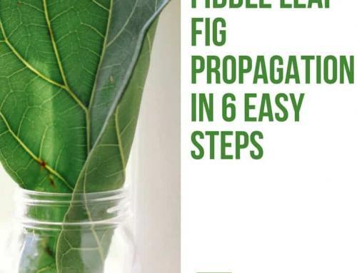 Fiddle Leaf Fig Propagation in 6 Easy Steps
