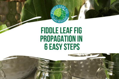 If you're a fiddle leaf fig aficionado trying to grow your herd, you may start to consider fiddle leaf fig propagation. Why would you want to propagate your plant? So that you can grow many plants from one original plant. This saves you money and allows you to clone your favorite fiddle leaf fig plant!