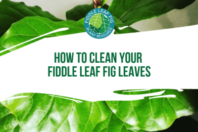 Fiddle leaf fig trees consume light and carbon dioxide to live and when their leaves are covered in dust, they can't get enough of either. Over time, if your tree is covered in dust, it will stop growing and eventually die.