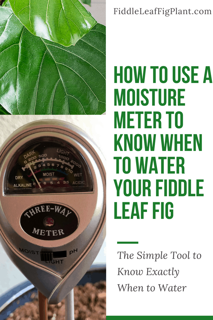 How to Use a Moisture Meter to Know When to Water Your Fiddle Leaf Fig