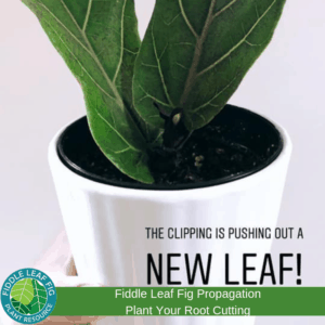 Fiddle Leaf Fig Propagation