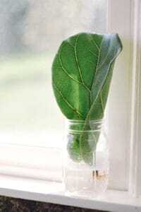 If you're a fiddle leaf fig aficionado trying to grow your herd, you may start to consider fiddle leaf fig propagation. Why would you want to propagate your plant? So that you can grow many plants from one original plant. This saves you money and allows you to clone your favorite fiddle leaf fig plant! Claire Akin