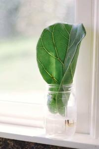 If You Re A Fiddle Leaf Fig Aficionado Trying To Grow Your Herd