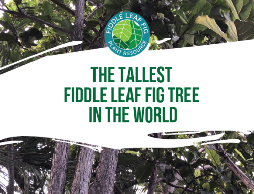 The Tallest Fiddle Leaf Fig Tree in The World?