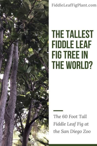 The Tallest Fiddle Leaf Fig Tree in The World