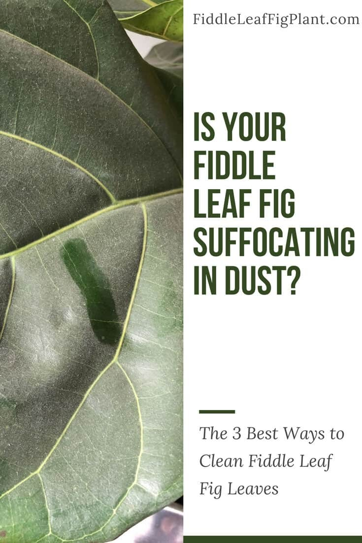 What S The Best Way To Clean Fiddle Leaf Fig Leaves