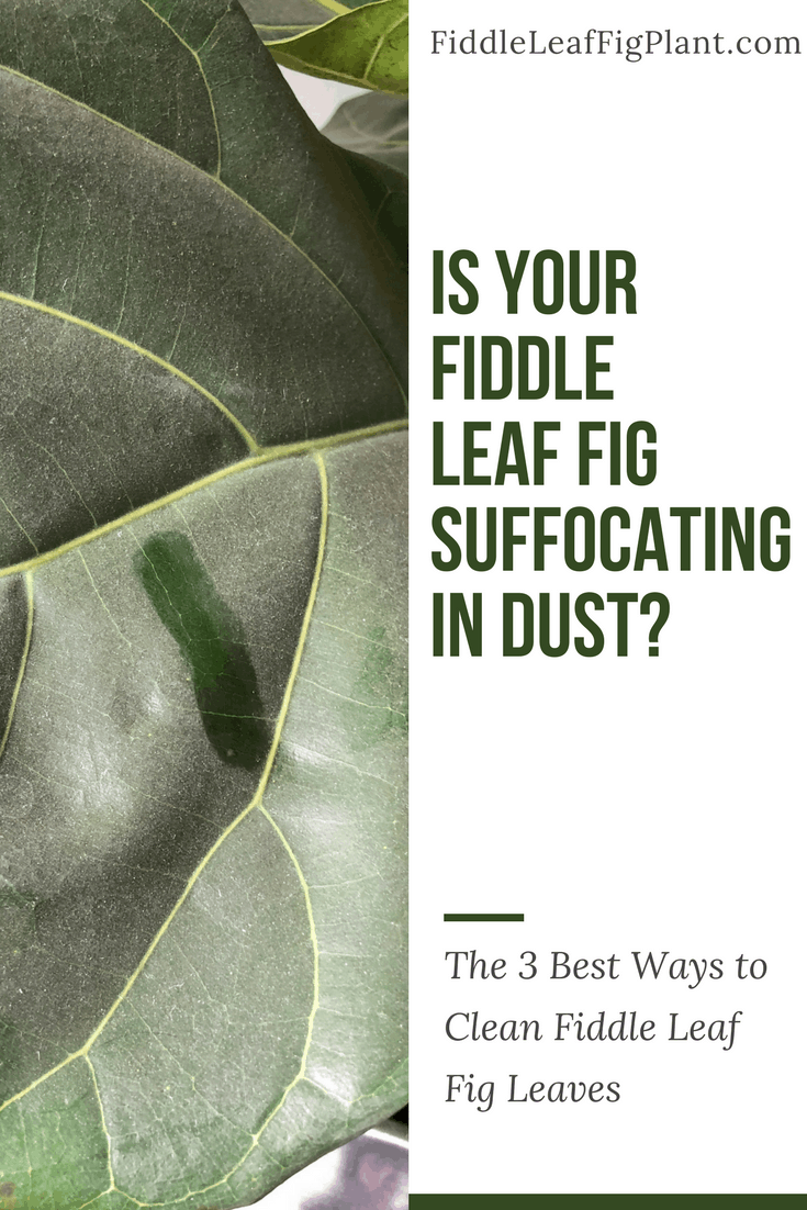 Three Ways to Clean Fiddle Leaf Fig Leaves