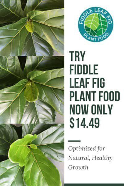 Fiddle Leaf Fig Plant Food 14