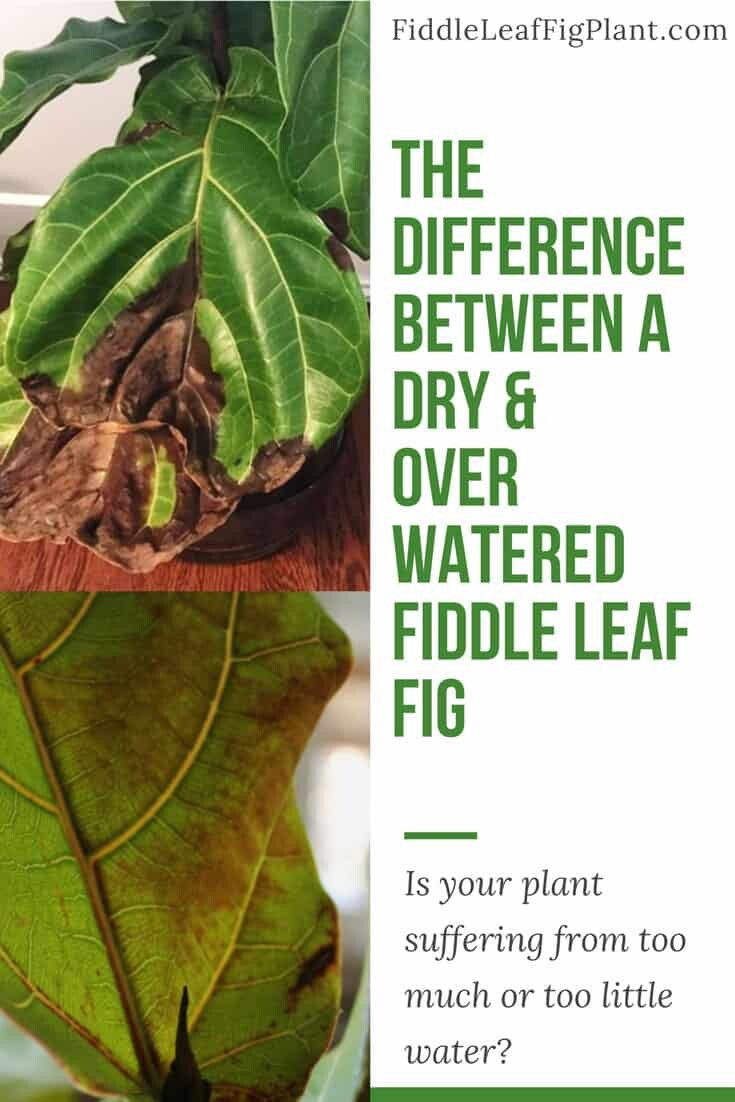 The Difference Between A Dry And Over Watered Fiddle Leaf Fig Plant