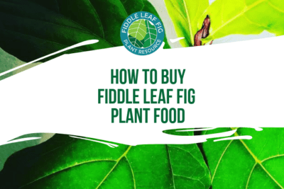 I created Fiddle Leaf Fig Plant Food with the help of a botanist and a fertilizer specialist with 35 years of experience. You can try it now for just $14.49!