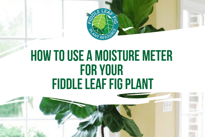 Using a moisture meter to know when to water your fiddle leaf fig plant can save you a lot of headaches and keep your plant healthy. For fiddle leaf fig owners who want to be totally confident in watering their plant, a moisture meter is a fantastic tool.