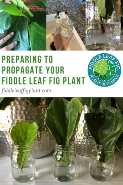 Preparing to Propagate a Fiddle Leaf Fig Plant With Pictures