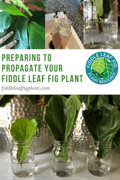 Preparing to Propagate a Fiddle Leaf Fig Plant (With Pictures)