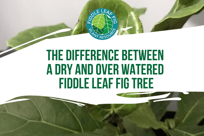 The two most common problems for fiddle leaf fig plants are ironically the opposite: too much and too little water. Here are the subtle differences between an over watered and under watered fiddle leaf fig plant!