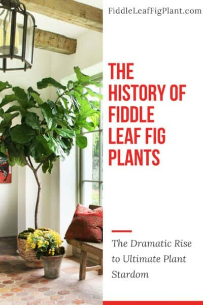 The History of Fiddle Leaf Fig Plants