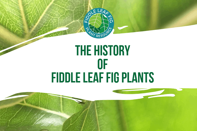 Learn the history of fiddle leaf fig plants. Discover where the largest fiddle leaf fig plant is and how fiddle leaf figs became the hottest houseplant.