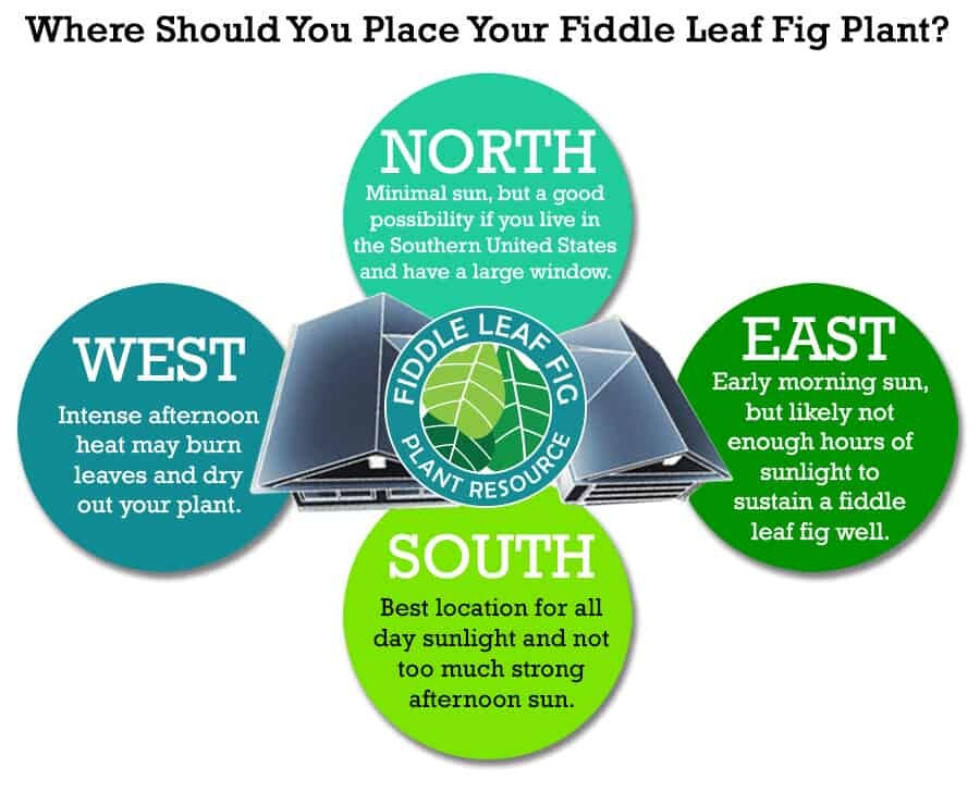 Where Should You Place Your Fiddle Leaf Fig Plant? | The Fiddle Leaf