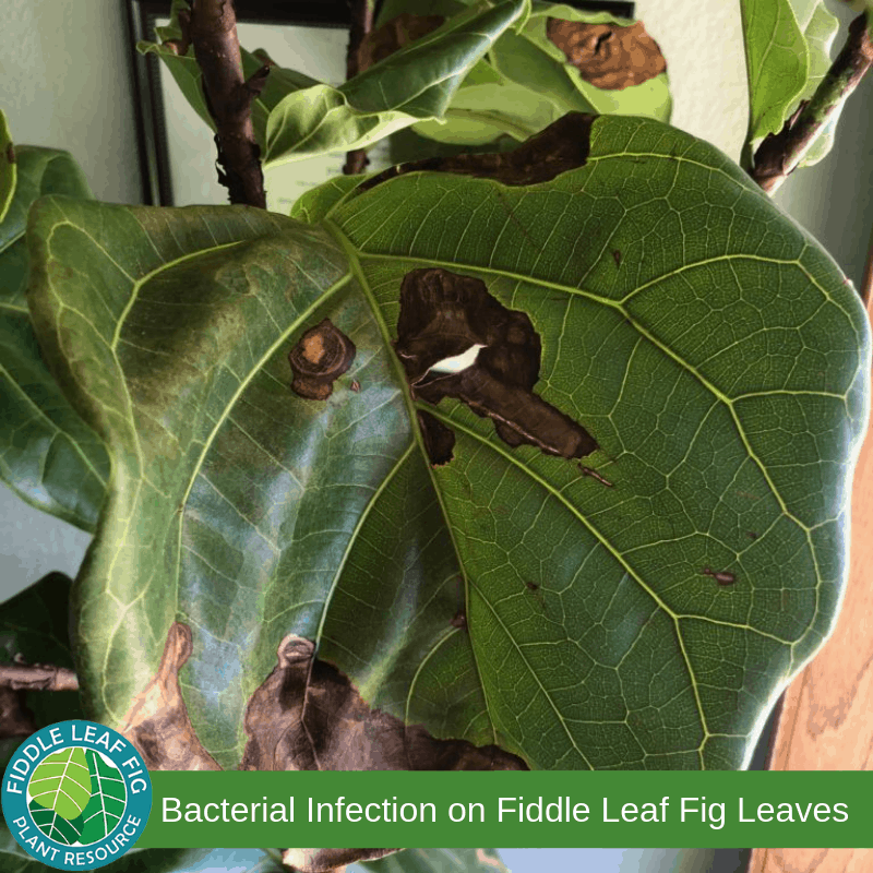 Brown Spots on Fiddle Leaf Fig Leaves due to Bacterial Infection
