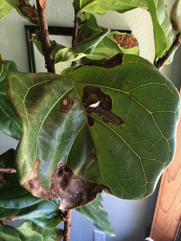 How To Treat Brown Spots On Fiddle Leaf Fig Leaves With Photos