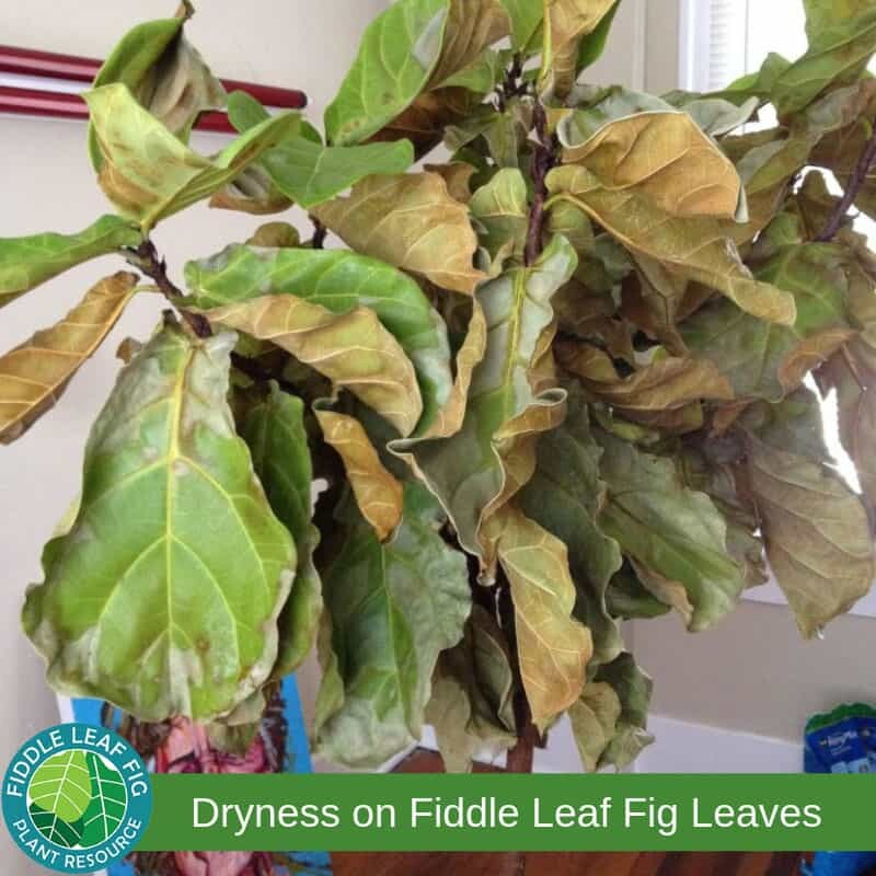 Brown Spots on Fiddle Leaf Fig Tree due to Dryness