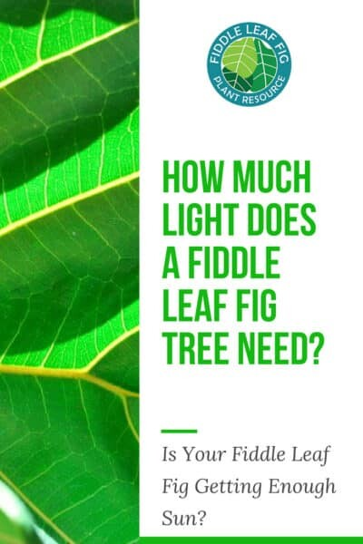 How Much Light Does a Fiddle Leaf Fig Tree Need