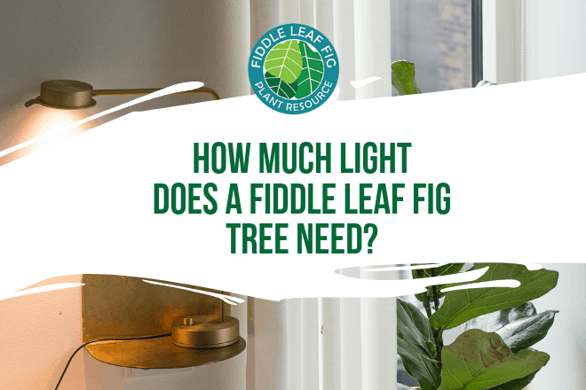 Do you wonder how much light does a fiddle leaf fig tree need? Click to learn how much light your fiddle leaf fig should be getting to grow healthy.