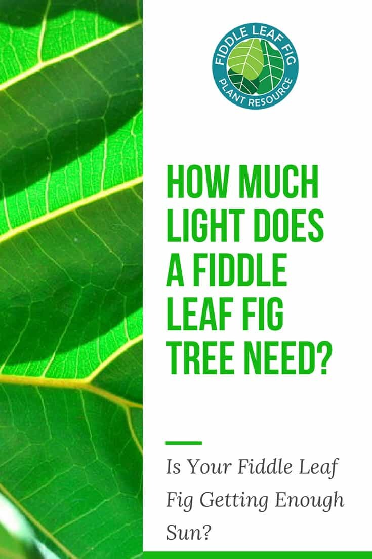 How Much Light Does A Fiddle Leaf Fig Tree Need The
