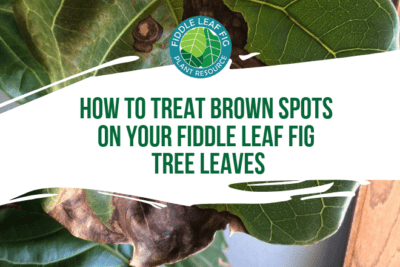 Do you have brown spots on fiddle leaf fig leaves? Here's how to determine what is causing the brown spots and how to save your plant!